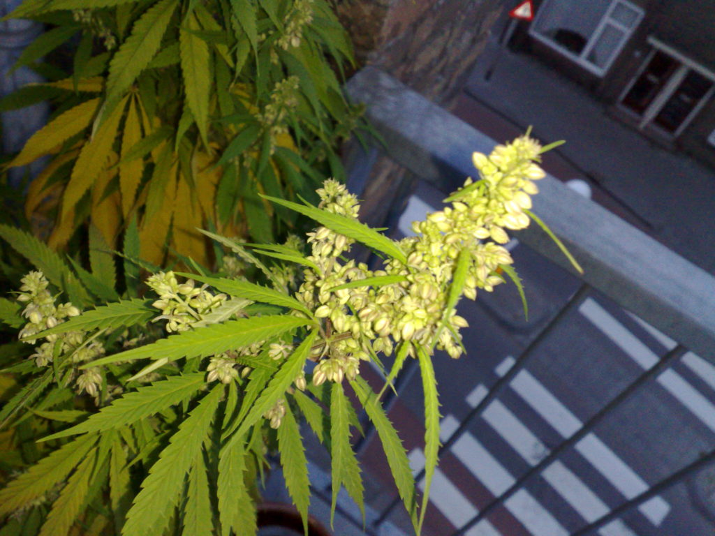 Male Weed Plant
